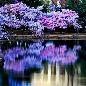 Cherry blossom reflections