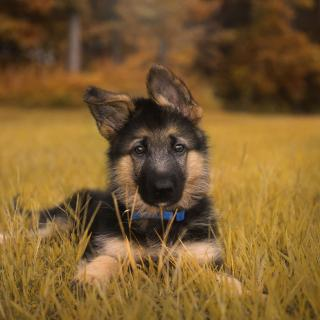 Duke the German Shepherd